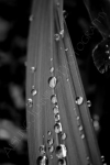 raindrops on grass - black and white
